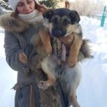 Продам щенка Восточно-европейской овчарки, Новосибирск
