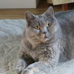 Нашли кошку британской породы, Новосибирск