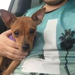 Найдена собака пинчер или той, Новосибирск