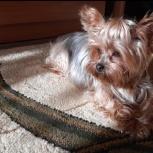 Потерялся щенок йорк, Новосибирск