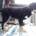 Монгол- банхар щенок, Новосибирск