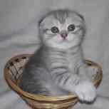 Милые вислоушки котенок, Новосибирск