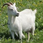 Продам козу, Новосибирск