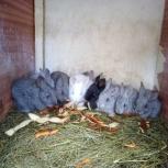 Кролики продам, Новосибирск