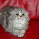 Шотландские котята с родословной, Новосибирск