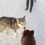 Найдена молодая сука маламута, Новосибирск