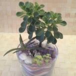 Живое дерево любви аихризон - отличный подарок, Новосибирск