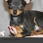 Потерялся пес той- терьер (верните за вознаграждение), Новосибирск