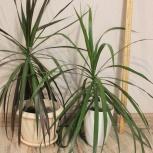 Растение Драцена, Новосибирск
