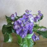 Продам комнатные и садовые цветы, Новосибирск