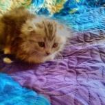продам котят, Новосибирск