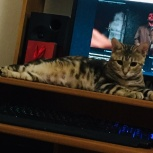 Предлагаются к резерву бенгальские котята, Новосибирск