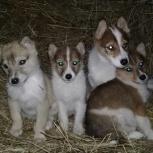 Продам щенков западно-сибирской лайки., Новосибирск