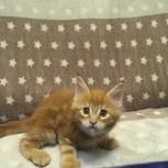 Продам котят Мейн-кун, с документами, Новосибирск