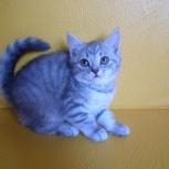 Шотландские котята - девчата, Новосибирск