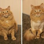 Действует 20% скидка на стрижку кошек с выездом к вам домой, Новосибирск