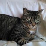 Красавица кошка Джессика, Новосибирск