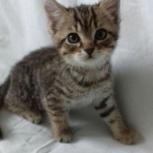 Котята, возраст 1,5 месяца, Новосибирск