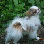 Потерялась собака, сука японского хина Крылова 71, Новосибирск