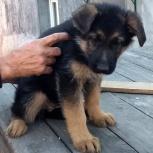 Продам щенков немецкой овчарки с документами, Новосибирск