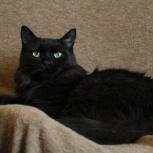 Жасмин домашняя и уютная кошка, Новосибирск