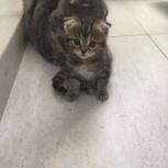 Продам вислоухого котёнка, Новосибирск
