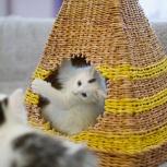 Котята породы курильский бобтейл, Новосибирск