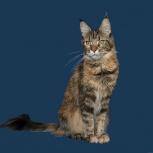 Очаровательная кошка мейн кун ищет новый дом, Новосибирск