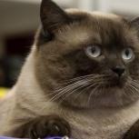 Британский котик, Новосибирск