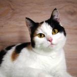 Трехцветная молодая кошечка,стерилизованная, Новосибирск