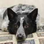 Джессика - ласковая и очень красивая собачка!, Новосибирск