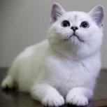 Британские котята серебристая шиншилла, Новосибирск