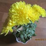 Комнатная хризантема желтая и белая, Новосибирск