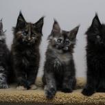 Крупные ласковые котята мейн-кун., Новосибирск
