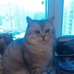 Кот на вязку,шотландец прямоухий, Новосибирск