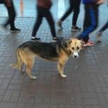 Бездомный пес, Новосибирск