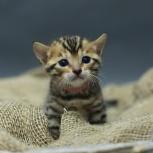Бенгальчик котенок, Новосибирск