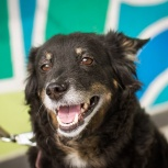 Красивая умная собака Полли, Новосибирск