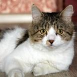 Добродушный и большой кот Тимоша, Новосибирск