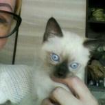 Тайский  котёнок, Новосибирск