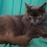 Голубой кот Юлий, кастрат, Новосибирск