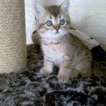 Котята от золотой шиншиллы, Новосибирск