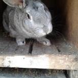 Продам кроликов мясной породы, Новосибирск