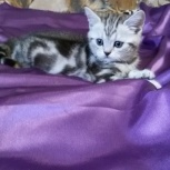 Британский  котенок котик, Новосибирск