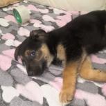 Отдам щенка в добрые руки, Новосибирск