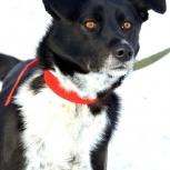Отдам даром в надежные руки собаку!, Новосибирск