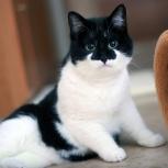Очаровательная юная кошечка черно-белого окраса, Новосибирск