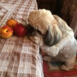 Пропал пес Ши-тцу  Веня, Новосибирск