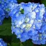 Гортензия голубая и розовая крупнолистная, Новосибирск