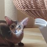 Абиссинский котёнок, Новосибирск